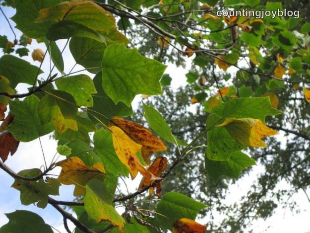 Tulip poplar trees are among the first to change colors in our neighborhood.