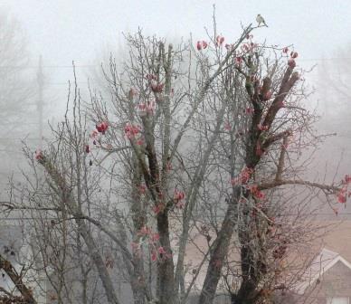 Bird in a pear tree