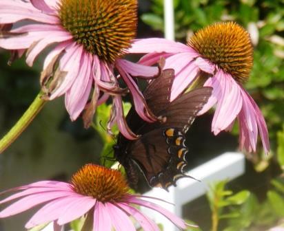 ButterflyCone