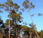 Maritime Forest, Orange Beach, Alabama