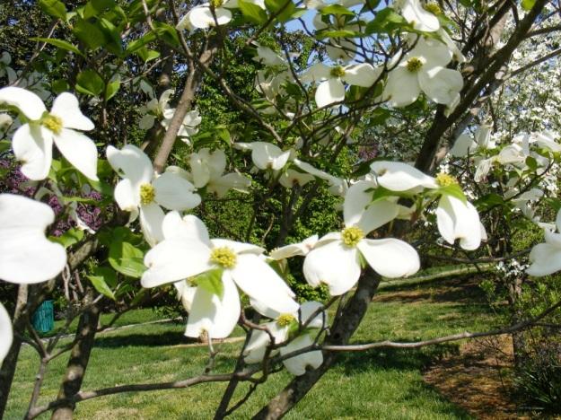 spring.Dogwood